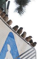 참새들의 사회적 거리