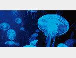 깊은 바다에서 밝게 빛나는 해파리(위).일본 화학자 시모무라 오사무가 1962년 해파리에서 형광단백질을 추출한 뒤 이 물질을 이용해 인체의 비밀을 추적하는 새로운 차원의 연구가 시작됐다.[shutterstock]