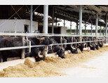 이탈리아 살레르노에 있는 테누타 반눌로(Tenuta Vannulo) 농장.