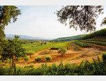 위스퍼링 엔젤을 만드는 샤토 데스클랑의 프로방스 포도밭. [사진 제공 · 금양인터내셔날]