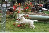 청와대 진돗개 강아지 세 마리, 일반 가정에 분양