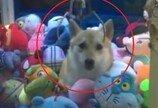 살아있는 강아지를 인형뽑기 기계에!…네티즌 공분