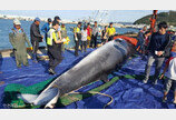 그물 걸려 죽은 밍크고래가 '바다의 로또'?