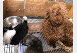 비닐에 버려진 강아지 3마리..젖먹인 유기견 푸들