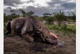 밀렵꾼에 뿔 잘린 코뿔소.. '올해의 야생동물 사진'