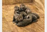 치타 8마리 태어난 미국의 동물원