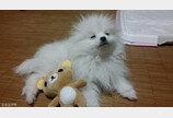 간식 가로채기 당한 강아지의 표정 변화