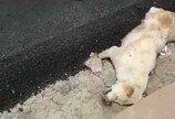 살아있는 강아지, 아스팔트 부어 매장해 버린 인부들
