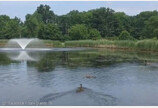 어미 잃은 오리들 연못에 풀어주자 기적이….