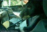 """문 열린 차에 난입한 곰..""""무료로 폐차 해드려요"""""""