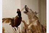 북미 늑대는 결코 멸종하지 않는다..코이울프 이야기