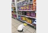 """""""이건 내가 찜!"""" 슈퍼마켓 '단골손님' 고양이"""