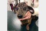 뇌종양 걸린 강아지에 티타늄 두개골 이식 성공