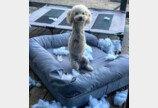 침대 찢어놓고 칭찬 받은 강아지