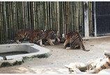 서울대공원, '백두산 호랑이' 네 마리 공개한다