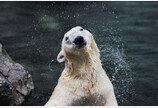 '한국 떠나기 싫었나' 북극곰 통키, 영국 이전 한달 앞두고 숨져