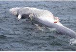 고래 잡는 상어?..고래 사체 뜯어먹는 백상아리 포착