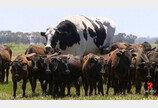호주 vs 캐나다 `소싸움`..우리나라 소가 더 커!
