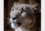 영국서 동물원 탈출한 눈표범 사살..`대전 퓨마 판박이`