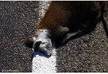 로드킬 동물사체 위로 차선 도색한 도로정비업체