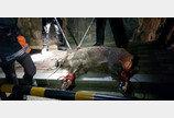 부산서 멧돼지 출몰..1시간만에 포획