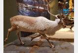 순록 사체도 먹는 북극땅다람쥐