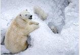 엄마 따라 생애 첫 외출 나온 아기 북극곰들