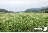 원주시 부론면 남한강변  7만7000㎡에 메밀꽃 '하얀 물결'