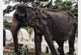 화려한 축제 의상에 가려진 뼈만 남은 코끼리의 충격적 모습