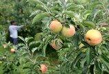 """""""추석용 사과, 폭염에 누렇게 타고 있다…올해 농사는 포기해야 하는 셈"""""""