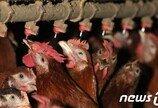 '닭고기' 생산비용 5년만에 증가…치킨값 또 오르나
