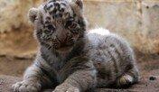 태어난지 한달된 벵갈호랑이…'호랑이가 이렇게 귀엽다니'