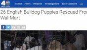 32℃ 밴에 방치된 불독 강아지 26마리 구출