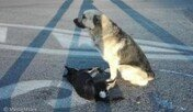 로드킬 친구 곁 못 떠나… 몇 시간째 도로 지킨 개