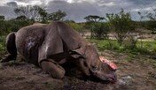 밀렵꾼에 뿔 잘린 코뿔소, 올해의 야생동물 사진