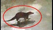 멸종 위기종 '수달'…나주천에서 떼지어 발견