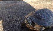 물속에서 얼어있던 거북이의 놀라운 생명력