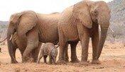 과거 구해준 사람들 잊지 않고 새끼 데려와 자랑한 야생코끼리