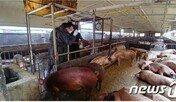 파주서 국내 첫 아프리카돼지열병…인근 500m 살처분