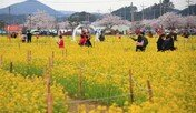 삼척 물들이는 노란 물결…유채꽃 축제 내달 6일 개막