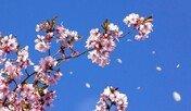 벚꽃여행의 진수… '일본'으로 떠나자