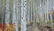 영양군 수비면 자작나무 숲, 산림관광 명소 된다