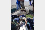 간(肝)만 쏙 사라진 백상아리 사체 3마리 '미스터리'…범인은 범고래?