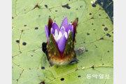 보랏빛 꽃망울 터뜨린 2급 멸종위기 가시연꽃