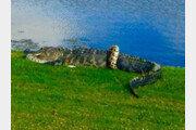 거대 악어 vs 버마왕뱀, 대낮 골프장 '혈투'…승자는?