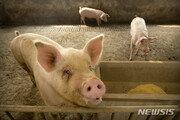 베트남, 아프리카돼지열병으로 170만마리 도살
