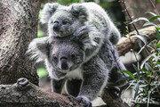 '호주 상징' 코알라 멸종 위협하는 성병 확산…실명·사망·불임