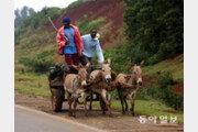 [홍진환 기자의 케냐에서 희망 찾기]<13>서민들의 자동차 '당나귀 수레'