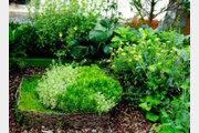 [오경아의 정원의 속삭임]향기로 벌레를 쫓는 식물들