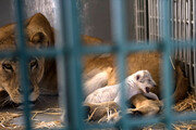 시리아서 구출된 '난민 사자' 새끼 낳아